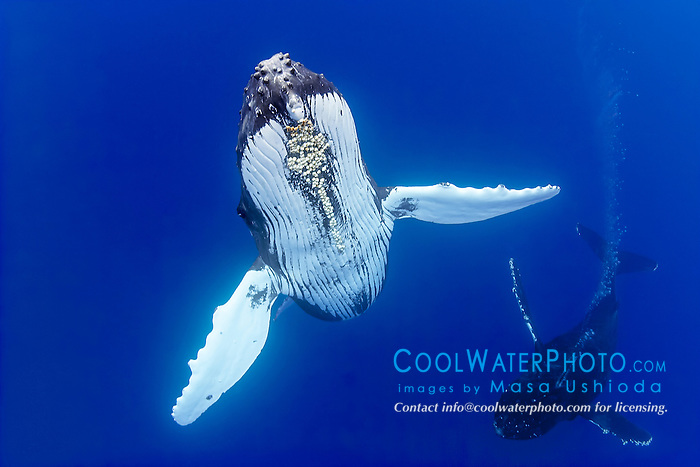 humpback whales, Megaptera novaeangliae, courtship behavior, heat run or mating contest - competing male whales battle each other, blowing bubbles aggressively possibly to gain access to a female as well as to fend off other males, Hawaii, USA, Pacific Ocean