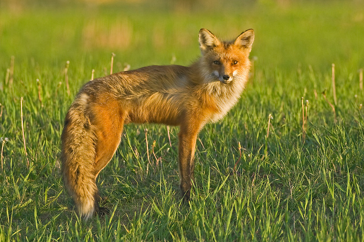 Red Fox vixen standing near the top of a hill
