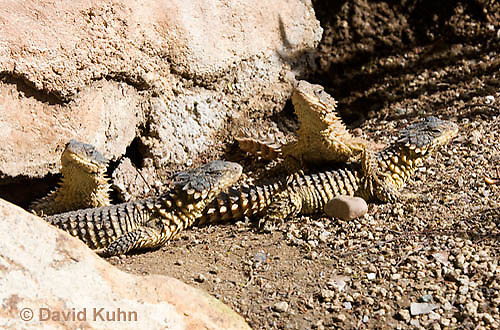 0521-1001  Group of Sungazer Lizards Sunning Outside Burrow (Giant Girdled Lizard or Giant Zonure), Cordylus giganteus  © David Kuhn/Dwight Kuhn Photography