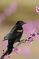 Red-winged Blackbird (Agelaius phoeniceus), male on Eastern Redbud (Cercis canadensis), Dinero, Lake Corpus Christi, South Texas, USA