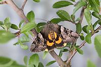 Gelbes Ordensband, Catocala fulminea, Yellow Bands Underwing, La Lichénée jaune, Eulenfalter, Noctuidae, noctuid moths, noctuid moth, Ordensbänder