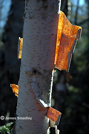 White birch tree trunk and bark