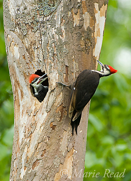 Pileated Woodpeckers (Dryocopus pileatus), female near nest hole where nestling looks out, Ithaca, New York, USA