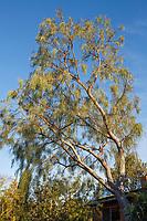 Acacia stenophylla, Shoe-String Acacia Tree in Nan Sterman Garden