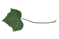 Efeu, Hedera helix, Common Ivy, English Ivy, Lierre grimpant. Blatt, Blätter, leaf, leaves