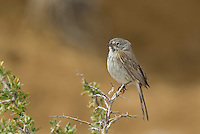 578830003 a wild sage sparrow amphispiza belli nevadensis perched in the low desert mountain chapparal of kern county california