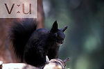 Abert's or Tassel-eared Squirrel Squirrel (Sciurus aberti), Southwestern USA.