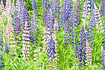 Lupin Flowers, Lupinus polyphyllus, nr Rautalampi, Kuopio, Finland, lupines, purple, white  and pink colours,