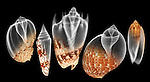 X-ray blend study of five patterned shells (on black) by Jim Wehtje, specialist in x-ray art and design images.
