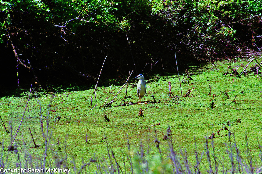 A night heron stands near the bushes in the Laguna de Santa near Sebastopol in Sonoma County in Northern California.