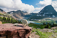 Mountain Goat (Oreamnos americanus) mom with young kid near Hidden Lake and Bearhat Mountain.  Glacier National Park, Montana.  Summer.
