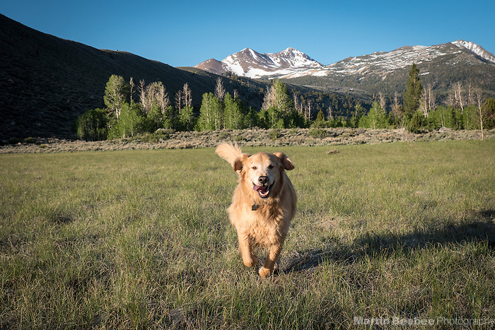 Dog (golden retriever) running through meadow in the Eastern Sierra Nevada, Humbolt-Toiyabe National Forest, California