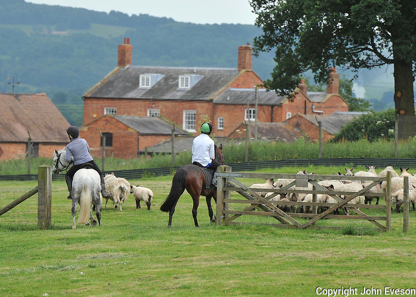 Ponies collecting sheep, Dumbleton, Evesham, Worcestershire.