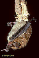 MA20-002z  Big Brown Bat - Eptesicus fuscus