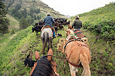 USA, Oregon, Joseph, Cowboys Todd Nash and Cody Ross drive cattle up the canyon wall towards Steer Creek drainage in Northeast Oregon