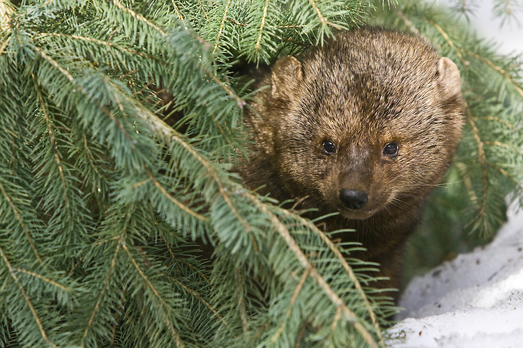 Fisher peering out through some spruce bows - CA
