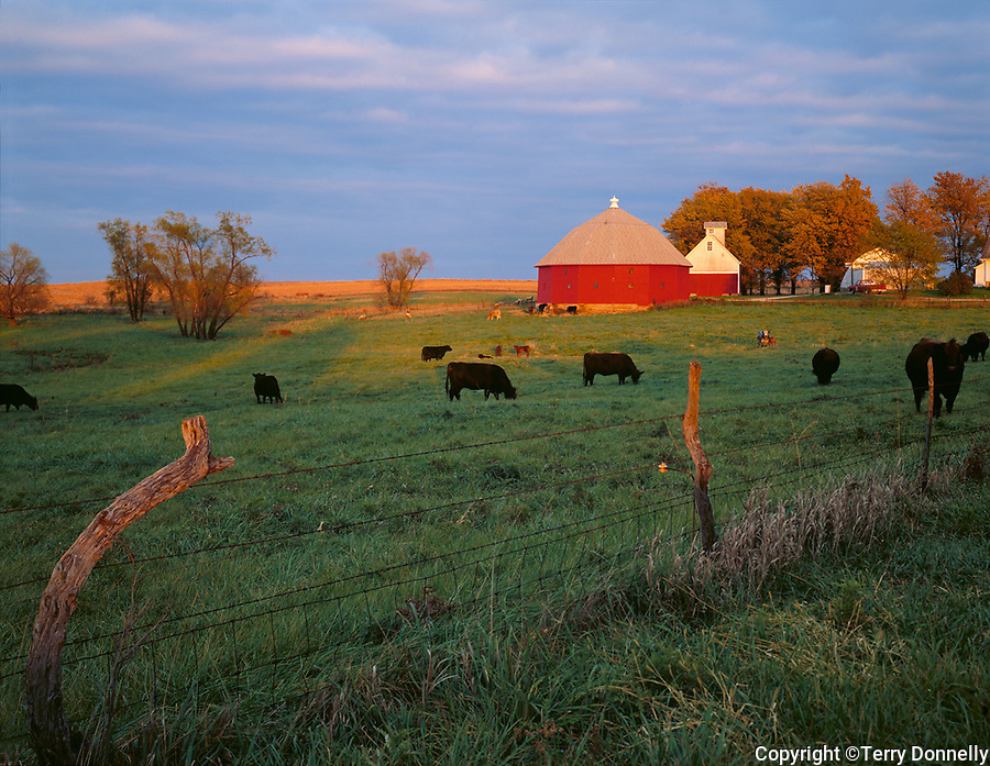 LaSalle County, IL<br /> Sunset light on red round barn and grazing cattle
