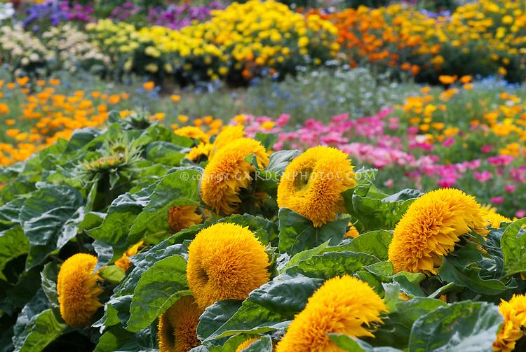 Helianthus Teddy Bear Dwarf sunflowers