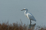 Snowy Egret Bolsa Chica Wildlife Refuge Southern California