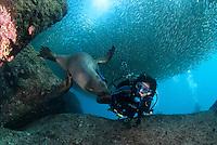 QT7309-D. California Sea Lion (Zalophus californianus) interacting with scuba diver (model released) beneath school of Bigeye Scad (Selar crumenophthalmus). Baja, Mexico, Sea of Cortez, Pacific Ocean.<br /> Photo Copyright &copy; Brandon Cole. All rights reserved worldwide.  www.brandoncole.com