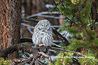 01128-00211 Great Gray Owl (Strix nebulosa) Yellowstone National Park, WY