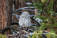 01128-00211 Great Gray Owl (Strix nebulosa) Yellowstone National Park, WY