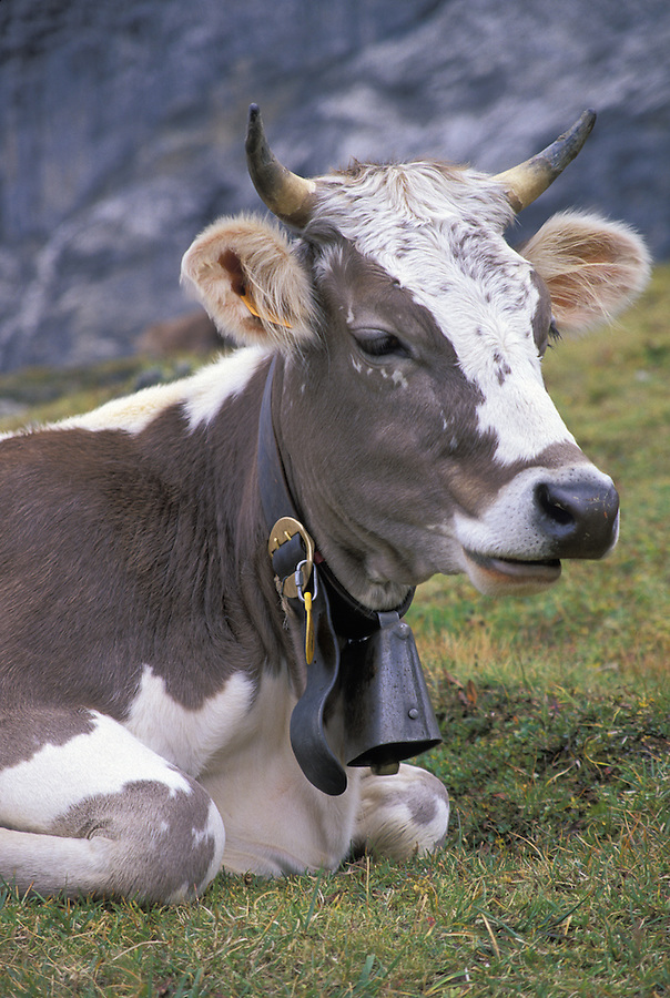 Dairy cow resting on grass, Klien Sheidegg, Switzerland