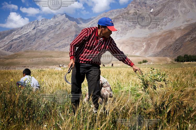 Men farm barley in fields near mountains.