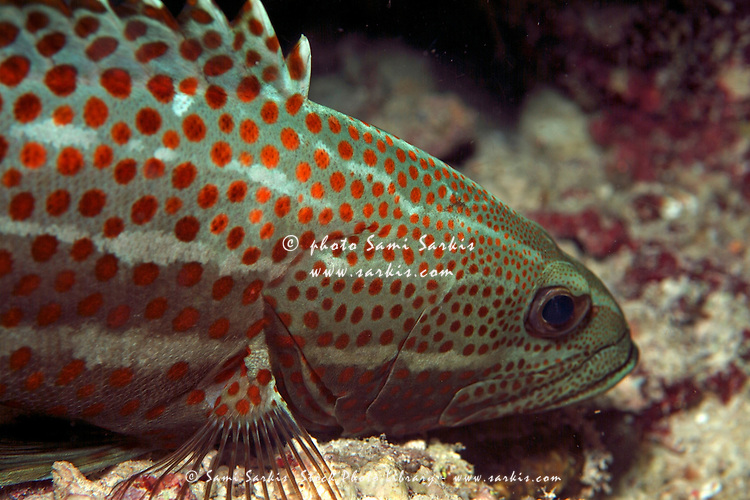 White Line Grouper (anyperodon leucogrammicus) sleeping on seabed at night, Kouramaticut, Male Atoll, Maldives.