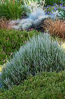 Calluna vulgaris 'Silver King', gray foliage heather in dry stream bed Soest Herbaceous Display Garden, University of Washington Botanic Garden, Center for Urban Horticulture, Seattle