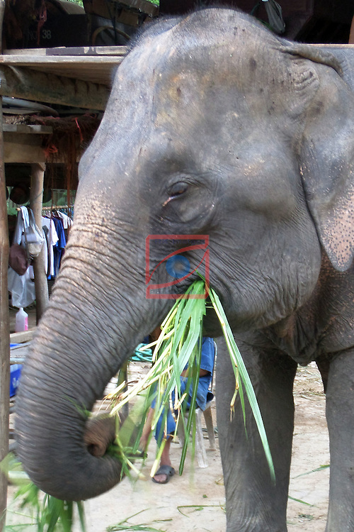 Thailand Tour.<br /> Maese Elephant Camp, Chiang Mai.