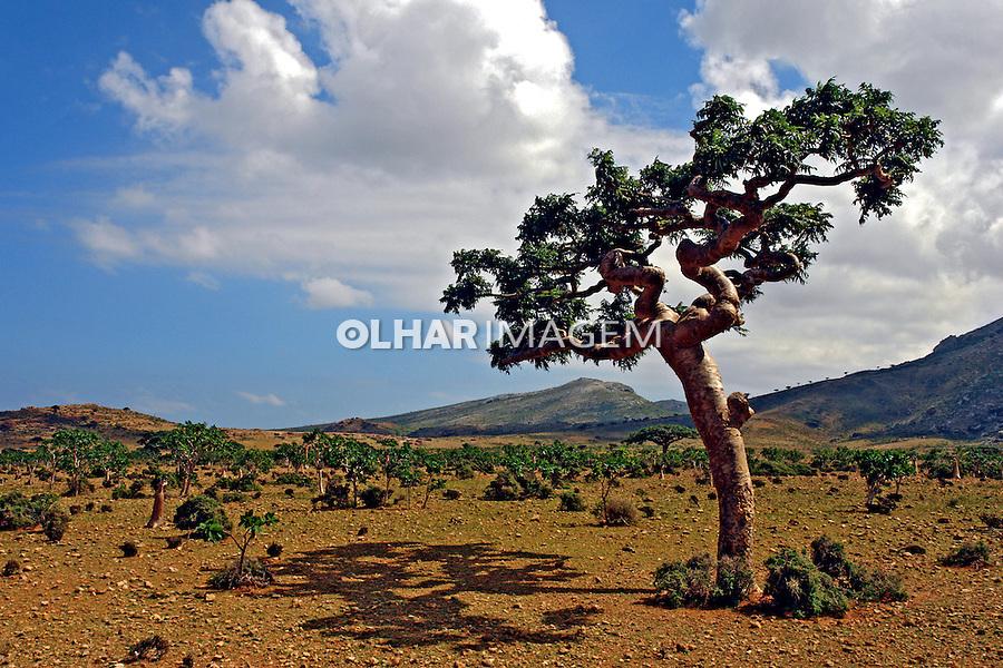 Arvore na Reserva Homhil. Ilha de Socotra. Yemen. 2008. Foto de Caio Vilela.