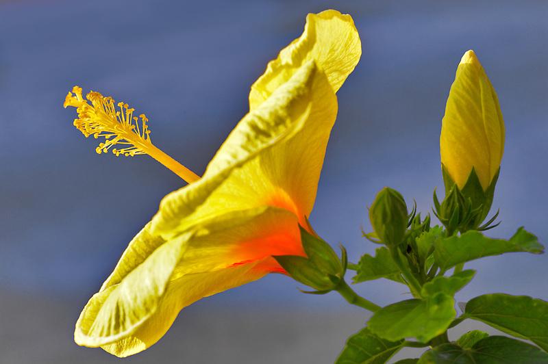 Hybiscus close up. Maui, Hawaii.