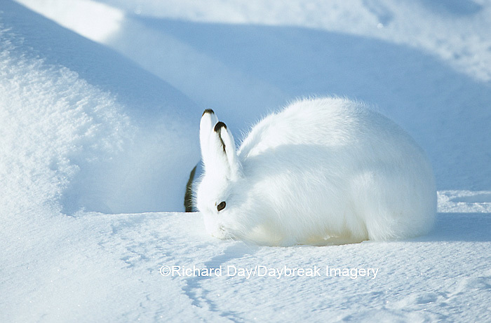 02206-00114 Arctic Hare (Lepus timidus) in snow, Churchill  MB