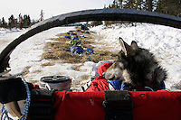"Trent Herbst's dog ""Griz"" rests in the sled bag in the sun in Koyuk on Friday"