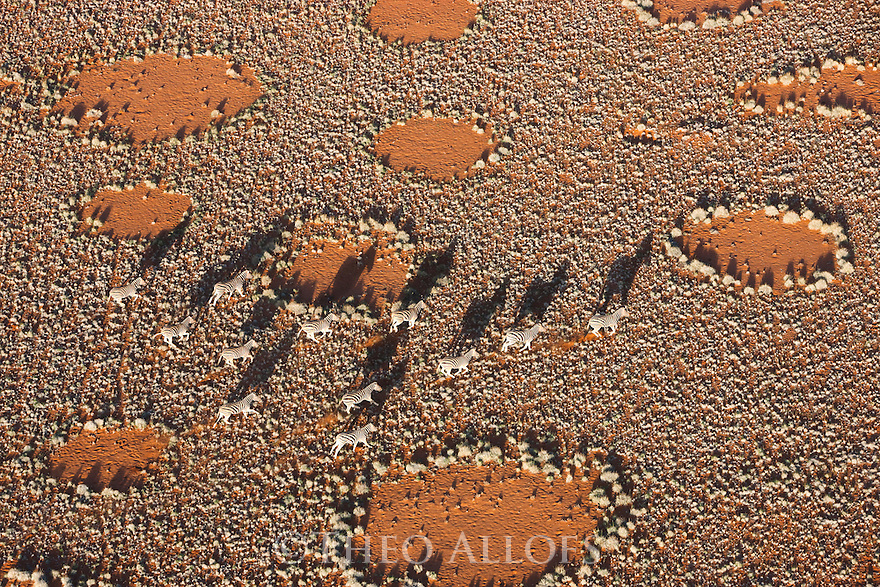 Namibia, Namib Desert, Namibrand Nature Reserve, aerial of zebras (Equus burchelli) crossing plain covered with fairy circles; fairy circles are believed to be caused by termites
