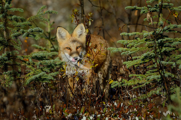 Red Fox (Vulpes vulpes) in the Liard River Valley near the Yukon/British Columbia border.  Sept.