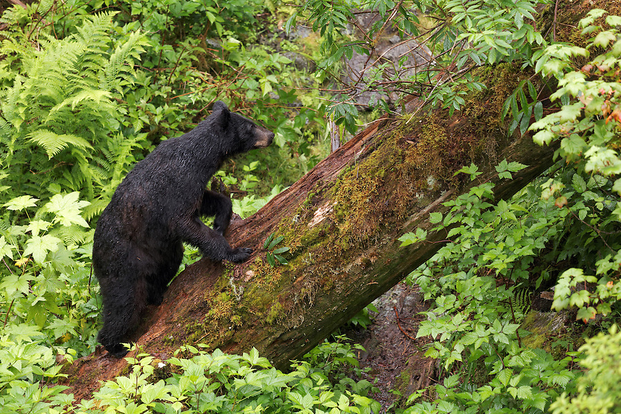 Black bear climbing up fallen tree trunk, Anan Wildlife Observatory, Tongass National Forest, Southeast, Alaska