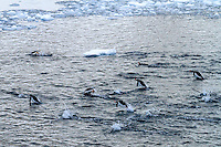 Gentoo penguins swimming in the Lemaire Channel along the Antarctic Peninsula.