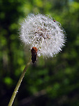 seen in the Falling Waters Nature Preserve in Saugerties, NY on Thurssday May 14, 2015. Photo by Jim Peppler. Copyright Jim Peppler 2015.