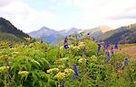 Larkspur & Cow Parsnip Bloom in Porphyry Basin San Juan Mountains Colorado