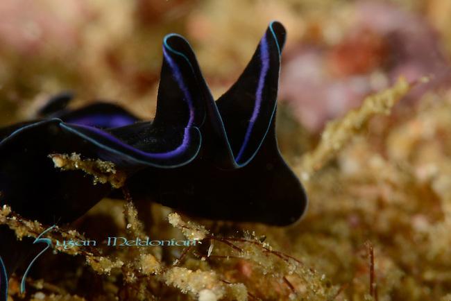 Sapphire Flatworm, Pseudoceros sapphirinus, Anilao -Polycladida