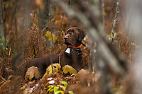 A chocolate pointing labrador retriever hunts grouse and woodcock near Gwinn Michigan.