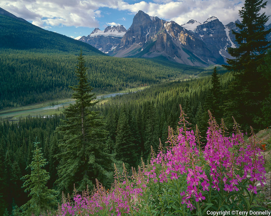 Banff National Park, Alberta, Canada: Fireweed (Epilobium angustifolium) on a ridge above The Valley of the Ten Peaks, Moraine Creek and Mount Babeil with Wenkachemna Peaks
