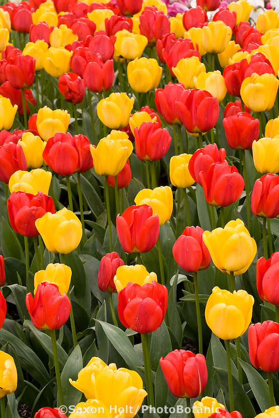 Red and yellow Appledorn tulips in flower bed at Roozengaarde during Tulip Festival, Skagit Valley Washington