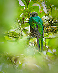 Quetzals and Trogons