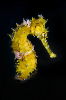 Yellow Hippocampus in Lembeh