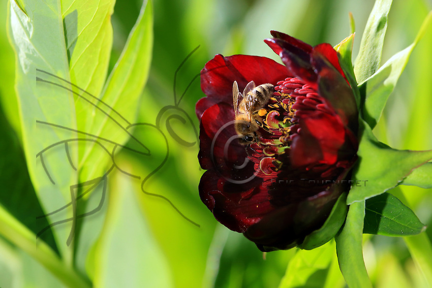 A bee gathering nectar from a Chinese peony.///Une abeille butine une pivoine de Chine.