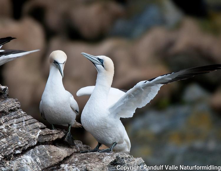 Havsuler i fuglefjell. ---- Northern Gannets on bird cliff.