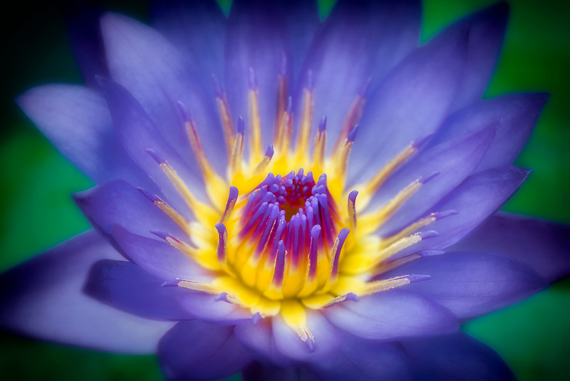 Panama Pacific MS tropical water lily. Hughes Water Gardens, Oregon
